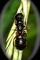 Myrmecology, About Ants, Ant Species - Common Black Ant, worker