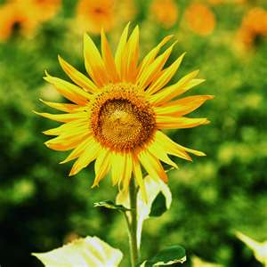 picture of blooming sunflower